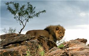 Löwe im Afrika Urlaub